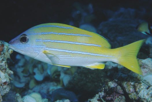 Bluestripe Seaperch