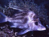 Yellowspotted Boarfish
