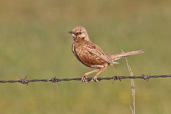 Brown Songlark