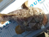 Threespine Frogfish,<i> Batrachomoeus trispinosus</i>