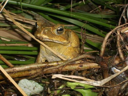 Cane Toad, Townsville