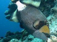 Titan Triggerfish, Balistoides viridescens