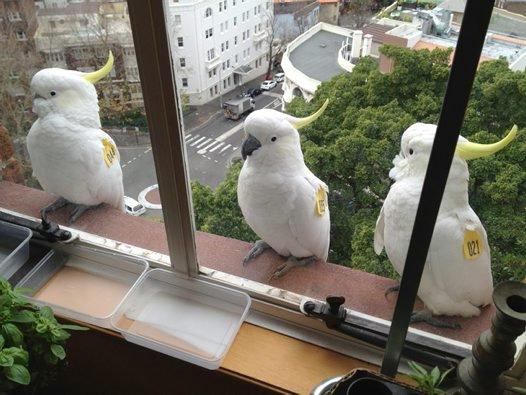 Sydney's Cockatoos #3