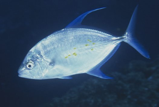 Thicklip Trevally
