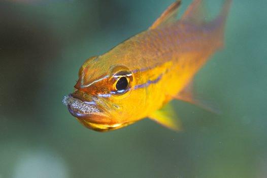 Plain Cardinalfish, <i>Ostorhinchus apogonides</i>