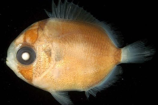 Larval Threadfin Butterflyfish