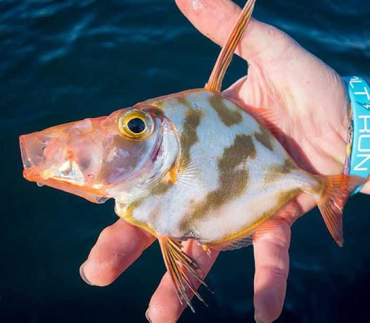 Silver Dory, Cyttus australis - mouth open