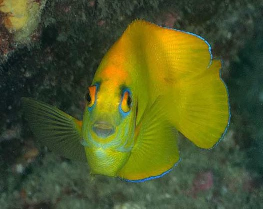 Lemonpeel Angelfish,<i> Centropyge flavissima</i>