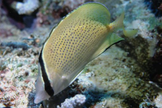 Citron Butterflyfish