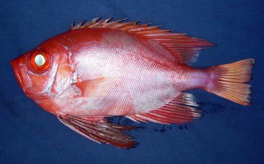 Longfin Bigeye, <i>Cookeolus japonicus</i>