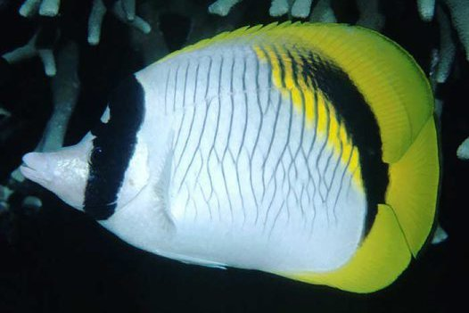 Lined Butterflyfish, Chaetodon lineolatus