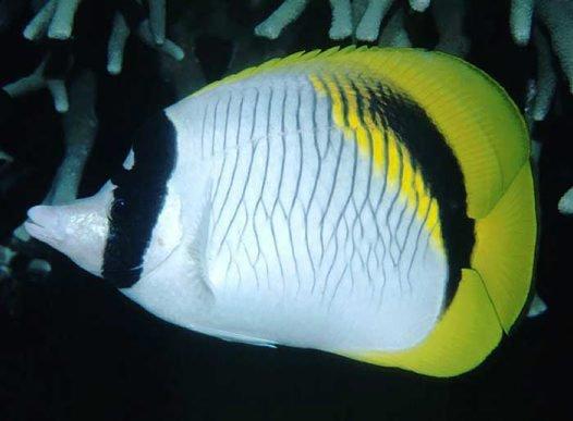 Lined Butterflyfish, Chaetodon lineolatus