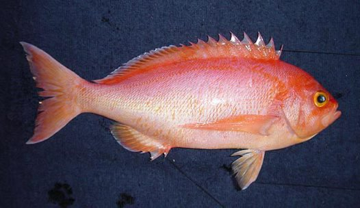 Longfin Perch, Caprodon longimanus - female