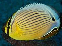 Pinstripe Butterflyfish, <i>Chaetodon lunulatus</i>