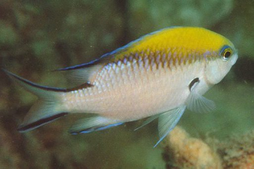 Yellowback Puller, Chromis nitida