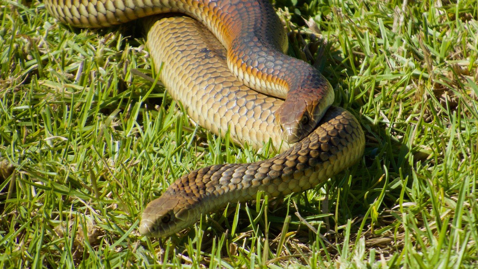 Copperhead snakes