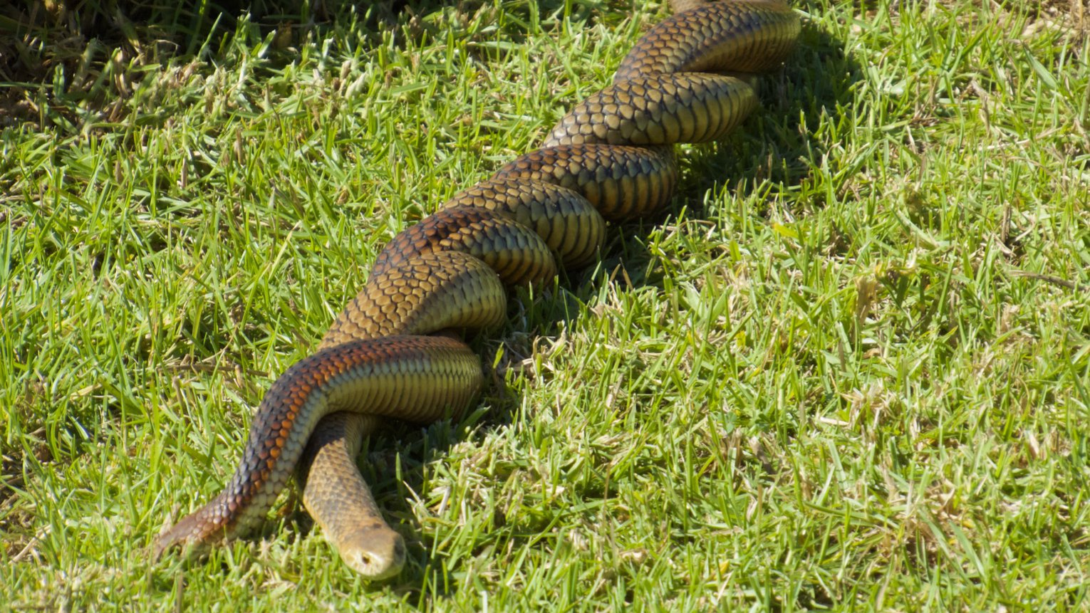 Copperhead snakes mating