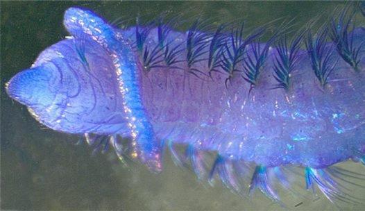 Cossura keablei