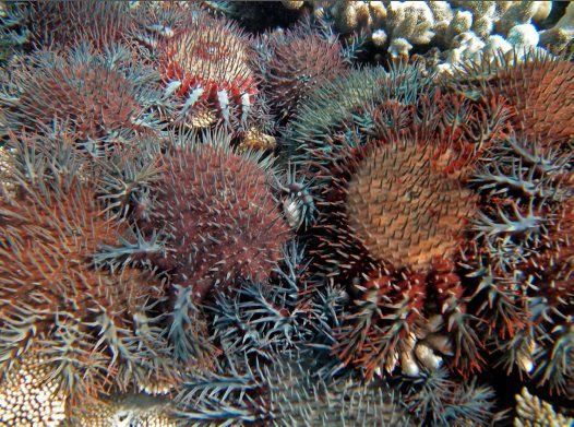 $500,000 Grant to Protect Coral Reefs from Crown of Thorns Starfish