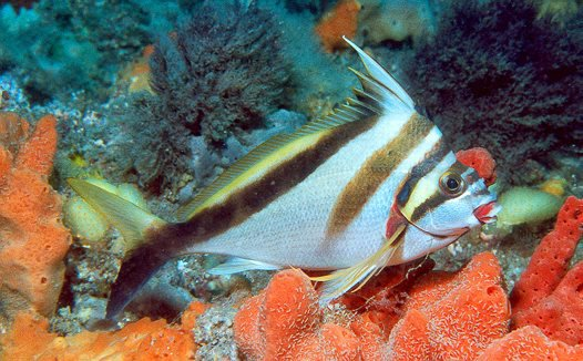 Crested Morwong