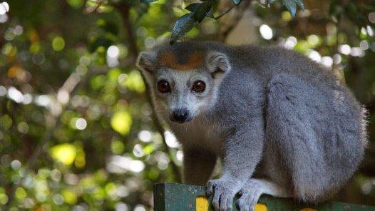 Madagascar 2012 - Crowned lemur