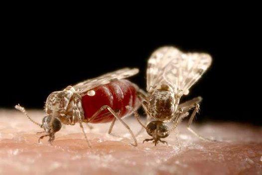 Blood-Feeding Culicoides Midges.