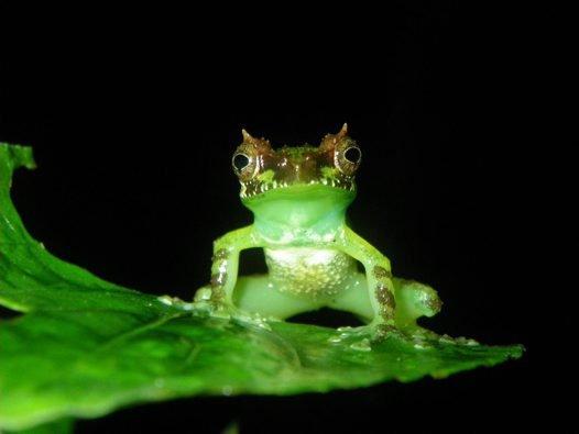 Gracixalus supercornutus, Central Vietnam.