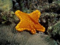 Tosia australis