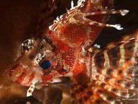 Dwarf Lionfish, Dendrochirus brachypterus