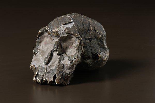 Homo rudolfensis skull cast