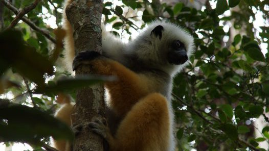Madagascar 2012 - Diademed sifaka