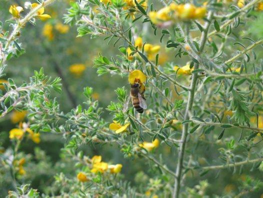 Dillwynia (pea flower)