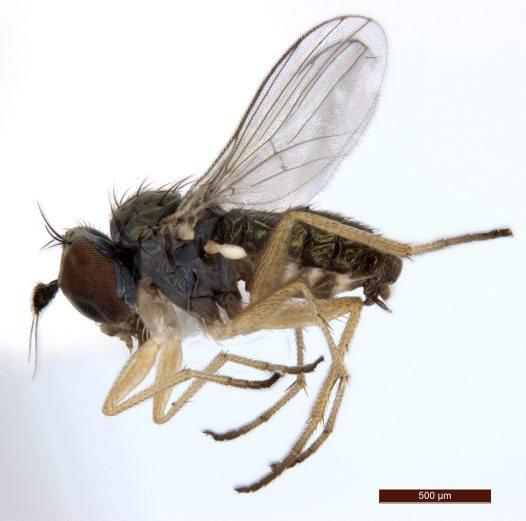 New species of long-legged fly (Dolichopodidae) from the Pilbara region.