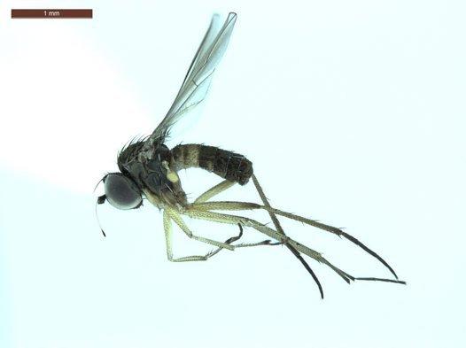 Male Long-legged fly from the Pilbara Region Western Australia.