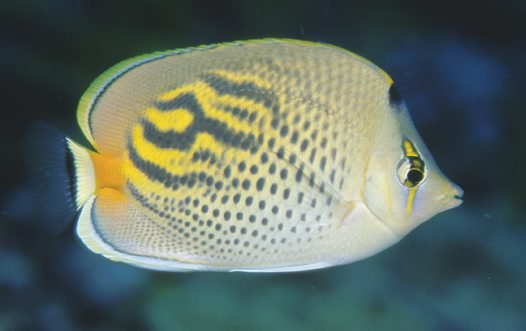 Dot-and-Dash Butterflyfish