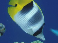 Doublesaddle Butterflyfish