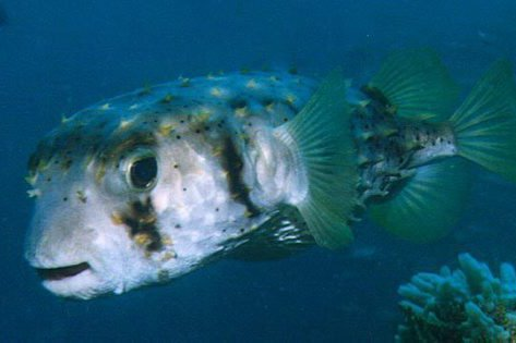 Threebar Porcupinefish