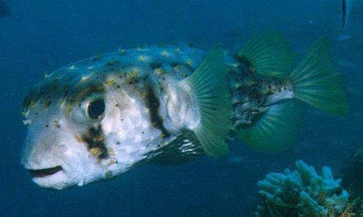 Threebar Porcupinefish