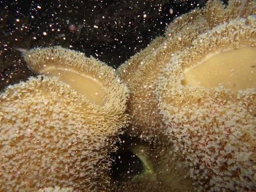 Soft corals spawning normally in 2014.