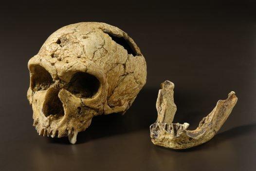 Homo neanderthalensis skull
