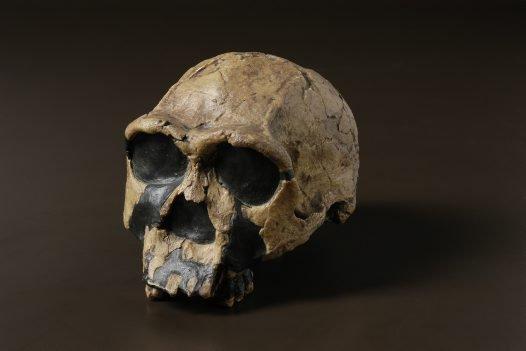 Female Homo ergaster skull