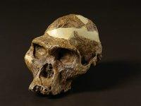 'Mrs Ples' Australopithecus africanus skull