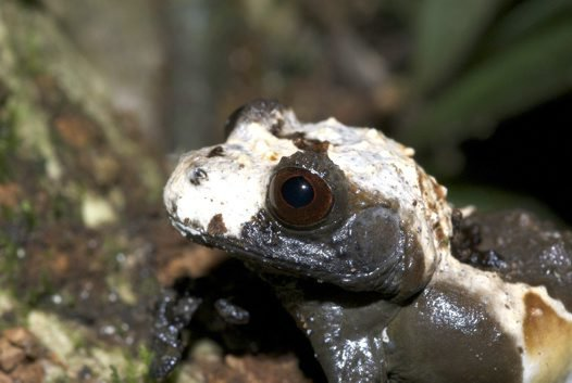 Bird poo frog (Theloderma asperum)