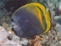 Dusky Butterflyfish