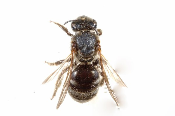 White Banded bee