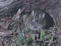 Eastern Chestnut Mouse