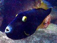 Black Reef Leatherjacket, Eubalichthys bucephalus