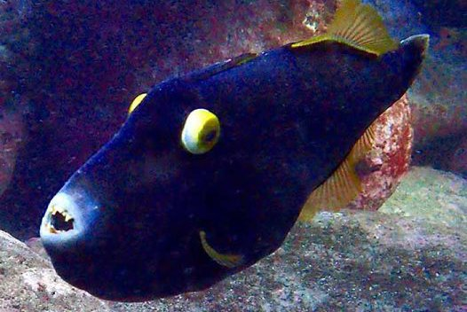 Black Reef Leatherjacket, Eubalichthys bucephalus