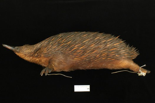 Echidna corealis holotype from the Australian Museum Mammal Collection
