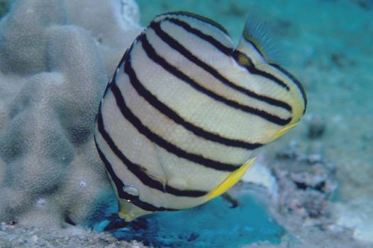 Eight-banded Butterflyfish